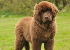 Newfoundland | VetStreet.com: 9 Large Breeds That Are Great Family Dogs | Comcast.net