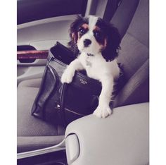 Cavalier King Charles puppy in a Celine purse omg!!!!