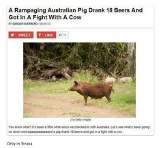 And then theres this pig // funny pictures - funny photos - funny images - funny pics - funny quotes - Australian Tumblr, Australian News, Funny Images, Funny Photos, Animal Memes, Funny Animals, Animal Funnies, Animal Quotes, Meanwhile In Australia