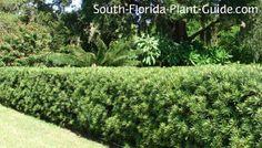 podocarpus - Google Search
