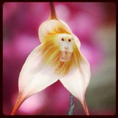 rarest orchid in the world | ... name is Dracula gigas, and is one of the rarest flowers in the world