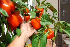 'Gourmet' orange bell peppers:  prolific, sweet, and delicious, whether grown in pots or grown in soil.  To learn more about growing peppers, see http://www.grow-it-organically.com/growing-peppers.html.