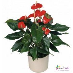 İthal Antoryum Saksı Çiçeği Ordu'da hızlı, ucuz ve kaliteli çiçek göndermek için en doğru adres..  www.cicekordu.com #Çiçek #Çiçekçi
