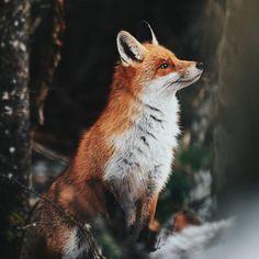 Red Fox by Szabo Ervin-Edward on 500px