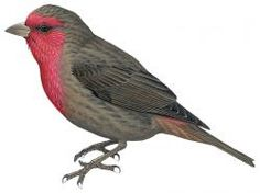 Red-fronted Rosefinch (Carpodacus punicea)