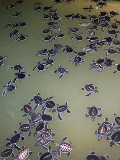 Turtle Conservation Project, Kosgoda, Sri Lanka. Love turtle sanctuaries. Love Sri Lanka ♥