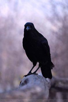 Crow (008) by Sikaris