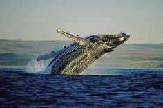 With kilometers of sandy white beaches and coastal coves it is the lure which sees Southern Right, Humpback and Bryde's whales migrating to its waters to calve and nurse their young. These gracious mammals, mere meters from the shore, provide unsurpassed whale watching.