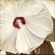 Alabaster Hibiscus  Fine Art Print