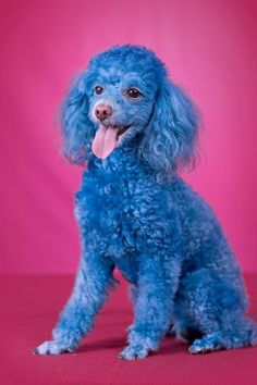 Adorable and Beautiful Blue-dyed Poodle Dog I Love Dogs, Cute Dogs, French Poodles, Jolie Photo, Fauna, Pet Grooming, Dog Toys, Funny Dogs, Dogs And Puppies