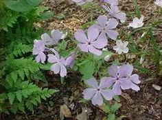 Phlox divaricata - WILD SWEET WILLIAM Best grown in humusy, medium moisture, well-drained soil in part shade to full shade. Prefers rich, moist, organic soils. Appreciates a light summer mulch which helps retain moisture and keep roots cool.