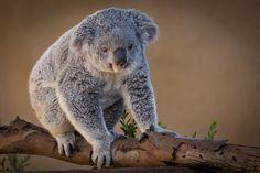 Fuzzy Koala(Justin in SD)