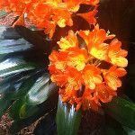Clovis Miniata at #FlowerShow  : http://twitpic.com/8sk98c