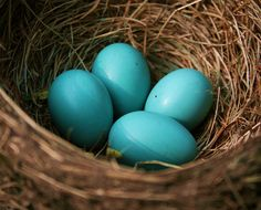 Four Blue Robin's Eggs in Nest