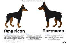 American Doberman vs German Doberman   Good European Breeder? - Doberman Forum : Doberman Breed Dog Forums American Doberman, European Doberman, I Love Dogs, Cute Dogs, Dog Forum, Canis Lupus, Doberman Pinscher Puppy, Doberman Breeders, Doberman Puppies
