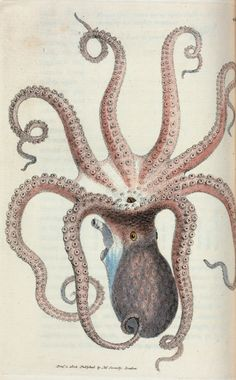 Sepia octopus. (Eight-armed Cuttle-fish)  James Soweby, 1822