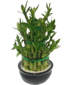 """Lucky bamboo, """"bouquet"""" porte-bonheur à la maison"""