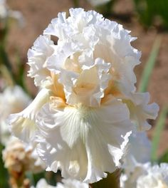 2 Bearded Iris Bulbs Perennial Reblooming Home Garden Flower Plant Rhizome White - Bulbs Plants - Ideas of Bulbs Plants Iris Flowers, Exotic Flowers, Amazing Flowers, White Flowers, Beautiful Flowers, Tropical Flowers, Yellow Roses, Purple Flowers, Pink Roses