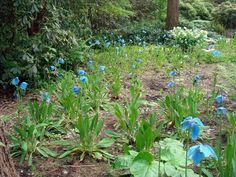 The 500 blue poppies growing in a meadow in Federal Way are Meconopsis lingholm, a fertile hybrid with consistent color and especially large...