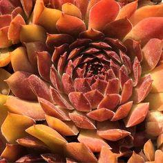Sempervivum 'Oh My' Red Succulents, Planting Succulents, Garden Plants, Sempervivum, Flower Planters, Flower Pots, Planta Mimosa, Botanical Art, Botanical Gardens