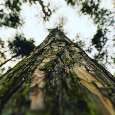 The Earth has lungs which we call trees! Pick up your litter be green save the planet! The Earth has lungs which we call trees! Pick up your litter be green save the planet! Bushcraft Essentials, Tree Surgeons, Cecile, Japan, Save The Planet, Family Camping, Looking Up, Lunges, Dusk