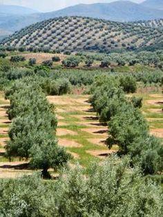 Southern Spain - Olive Grove http://www.sunnyvillaspain.com