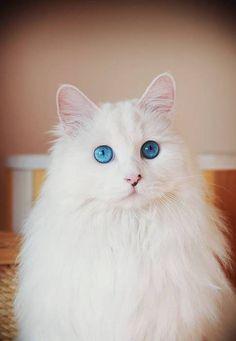 """宝石の瞳を持つ猫 The cat who has """"jewelry eyes"""" !                                                                                                                                                                                 もっと見る"""