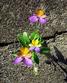 Violas - One of the things I love about them, they come up anywhere.