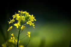 500px / Photo Rapeseed by marbee .info