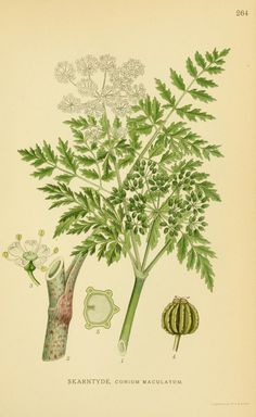 Poison hemlock (Conium maculatum, Apiaceae), from 'Billeder af nordens flora', by Mentz & Ostenfeld, 1917-1927. Source: Biodiversity Heritage Library, BHL. [public domain image]