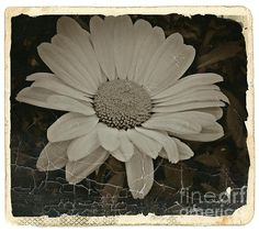 Sepia Vintage Daisy 1 Photograph by Chalet Roome-Rigdon