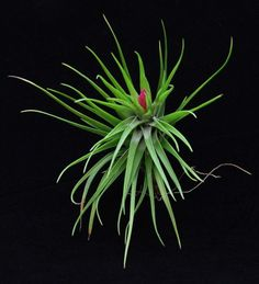 "Tillandsia tenuifolia ""Emerald Forest"", Plant Oddities     Yet another new addition to my obsession collection!"