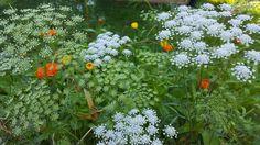 Fairy like Ammi Majus and wonderful calendula love growing together on my flower farm.