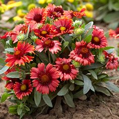 With a little deadheading, Arizona Red Shades will bloom all summer long, providing vibrant color to almost any perennial garden. Like all Gaillardia, this variety thrives in full sun and tolerates most soil types. It is unappealing to deer and rabbits, b Easy To Grow Flowers, Growing Flowers, Shade Perennials, Flowers Perennials, Indian Blanket Flower, Fescue Grass, Blue Fescue, Deer Resistant Perennials, American Meadows