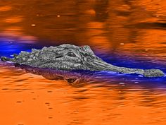 Florida Gator Background Pictures   Full -::- 1600x1200   1024x768 Wide -::- 1920x1200   1440x900