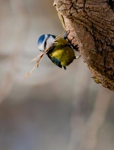 Blue tits are widespread and a common resident breeder throughout temperate and subarctic Europe and western Asia in deciduous or mixed woodlands with a high proportion of oak.