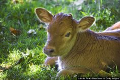 """The Danish government has introduced a ban on the religious slaughter of animals for the production of kosher and halal meat. The ban was defended by Agriculture and Food Minister Dan Jørgensen's announced that """"animal rights come before religion."""""""