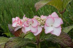 Hydrangea macrophylla 'Dolce Kiss' has brooding dark leaves and bears lacecap heads of white flowers edged pink. Almost certainly bred from and is definitely a bigger version of Hydrangea serrata 'Kiyosumi'.