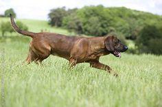 Hanover Hound, Hanoverian Scenthound, Hannover'scher Schweisshund, #Dogs