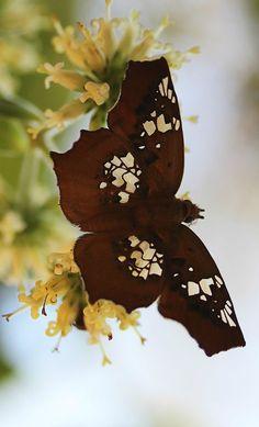 Tawny Angle Butterfly (Ctenoptilum Vasava) www.kerlagons.com | #Butterfly #TawnyAngle |