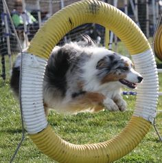 Australian Shepherd Training Tips