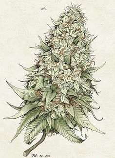 Growing marijuana from clones is one of the ways to grow marijuana. Cloning cannabis is a faster and more effective way of growing identical buds produced from one mother plant. This grow journal chronicles a grower's first attempt in growing cannabis. Marijuana Plants, Cannabis Plant, Medical Marijuana, Weed Tattoo, Weed Buds, Weed, Pirate Tattoo, Tattoo Ideas, Smoking Weed
