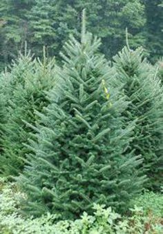 Granny D S Christmas Trees We Ve Been There Fun Christmas Tree Farm Pictures Christmas Tree Farm Fraser Fir Christmas Tree