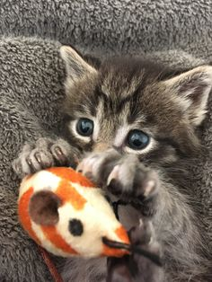 Foster Kittens, The Fosters, Cats, Animals, Gatos, Animales, Animaux, Animal, Cat