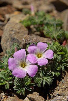 Oxalidaceae ✯ Flower Diary ✯ #flowers #floral #nature #garden #secretgarden