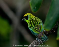 Green and Gold Tanager by VAGRANT83, via Flickr