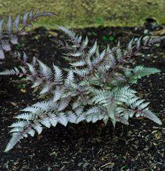 Japanese painted fern (Athyrium niponicum var. 'Pictum')   Fine Gardening