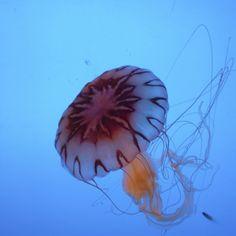 jellyfish Jellyfish, Pets, Animals, Animals And Pets, Animales, Medusa, Animaux, Animal, Manet