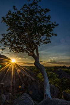 White Tree Sunrise - Damaraland, Namibia