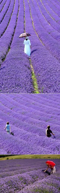 British Lavender Fields, Great Britain